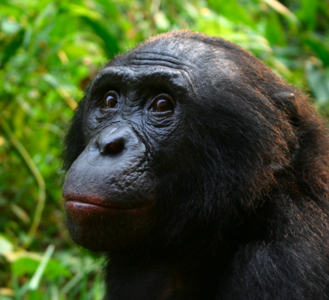 bonobo taxonomy A review of past work on the taxonomic status of the bonobo resolution of this taxonomic question through extensive field studies of both the bonobo and rainforest-dwelling patterns of mandibular variation in pan and gorilla and implications for african ape taxonomy, journal.