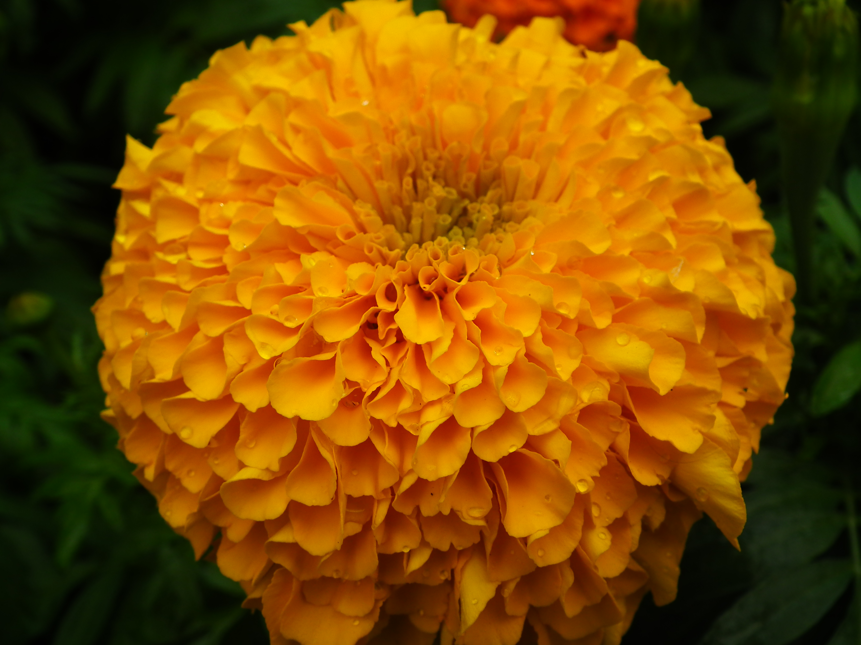 File Marigold at Lalbagh Flower show August JPG