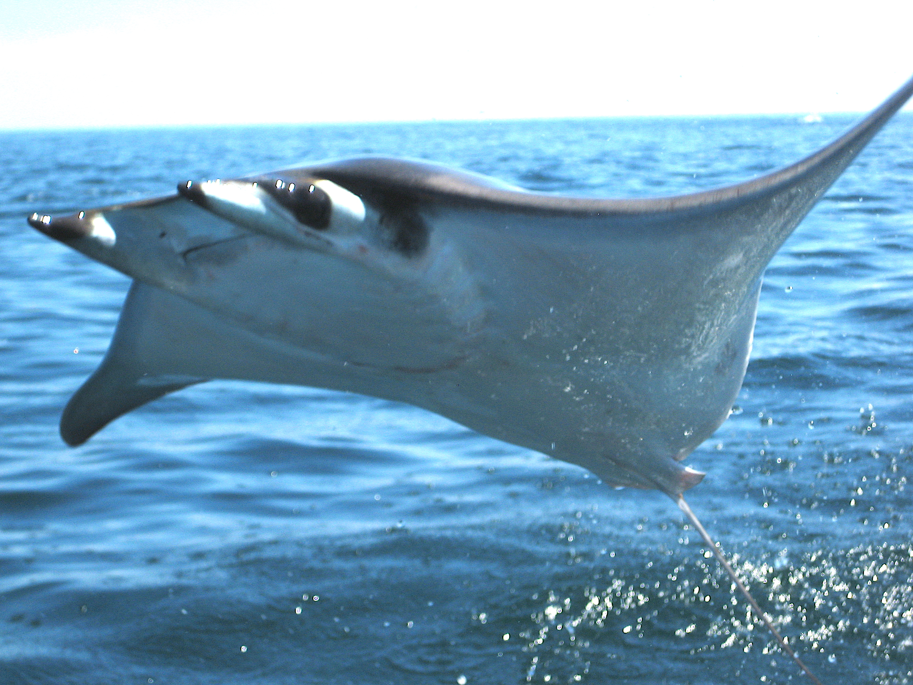 Image result for manta ray breaching