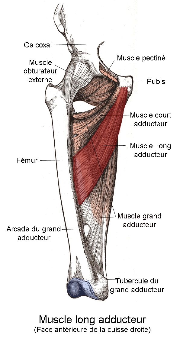 Muscle long adducteur — Wikipédia