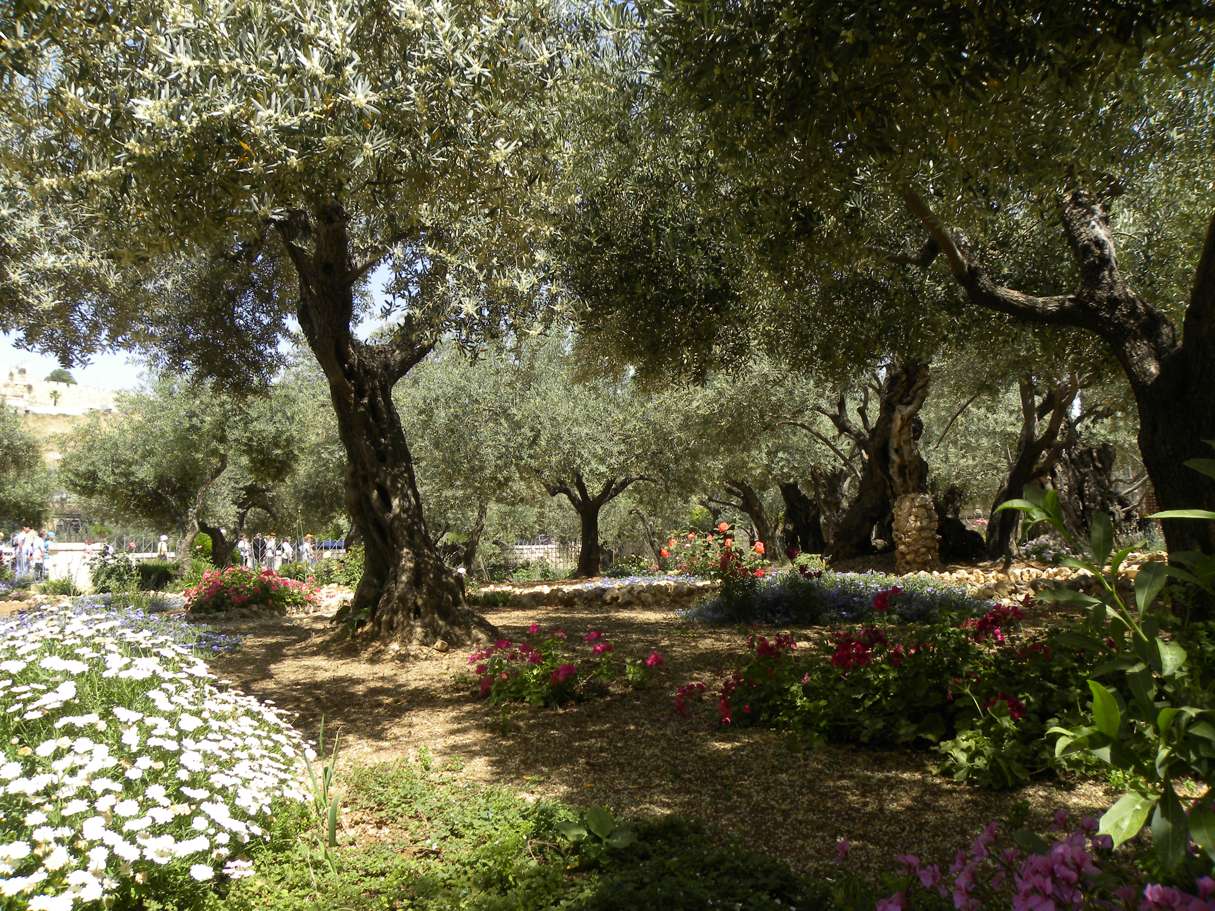 File:Olive trees in the traditional garden of Gethsemane (6409590197 ...