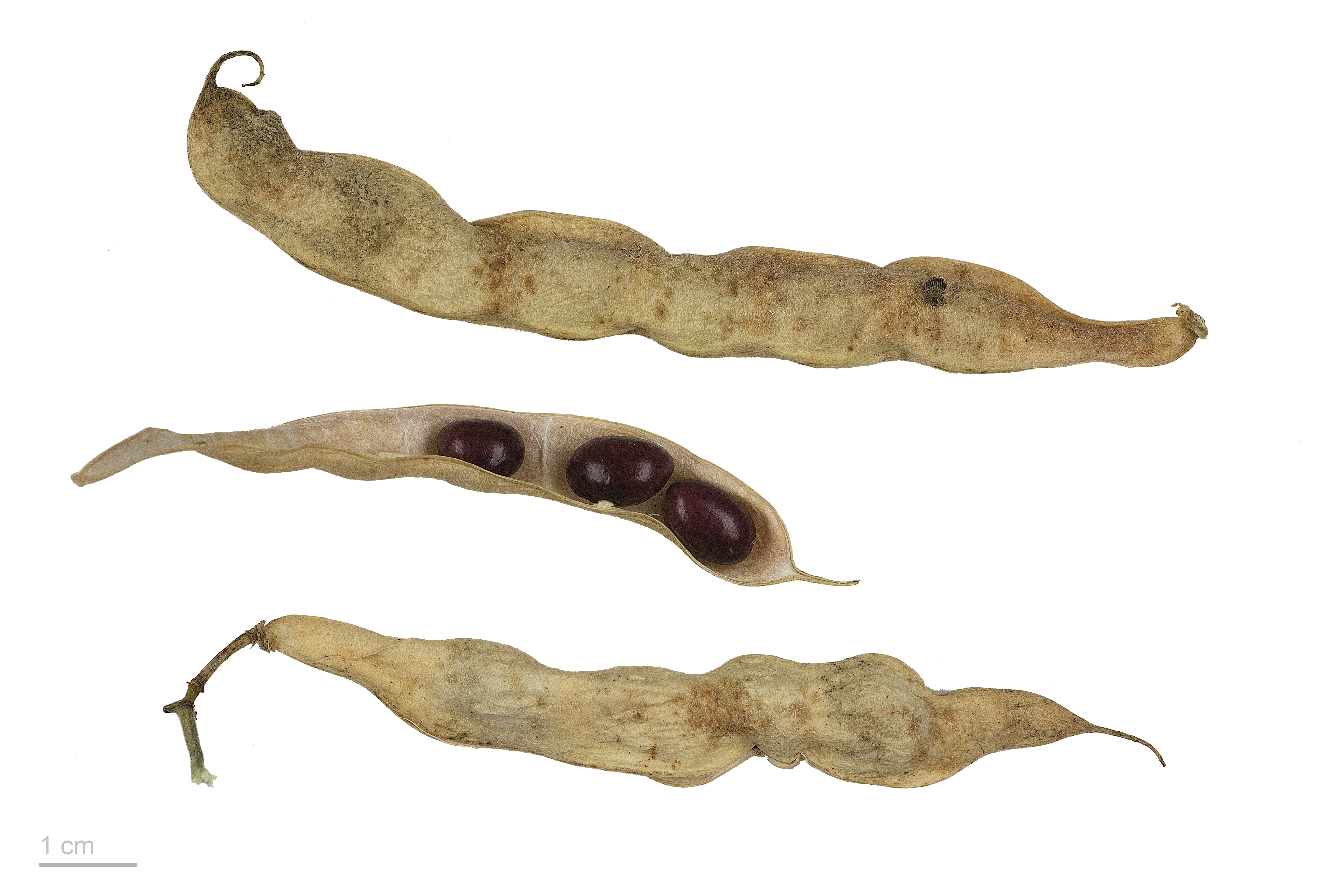 Phaseolus vulgaris MHNT