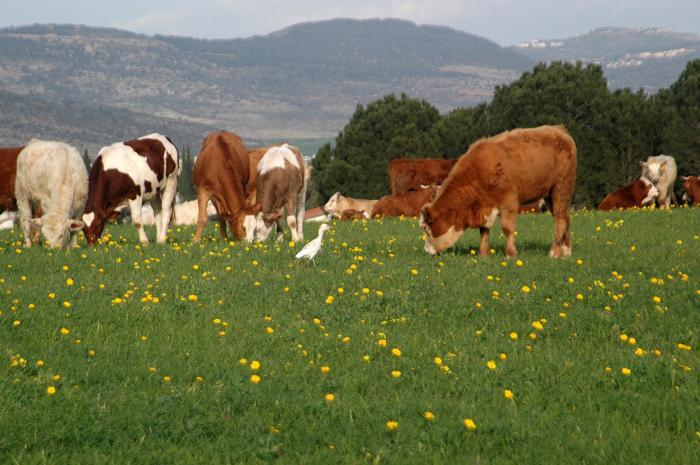פרות בגליל התחתון