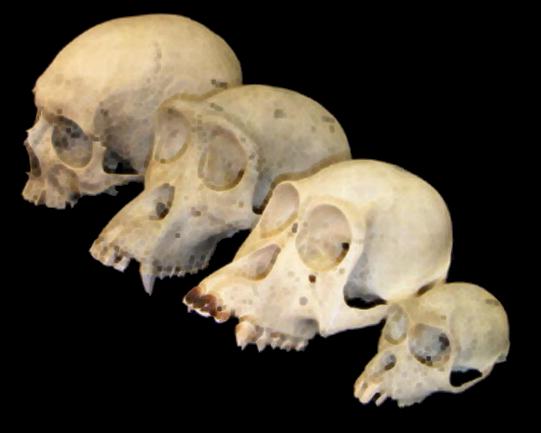 Os humanos evoluíram dos hominídeos?