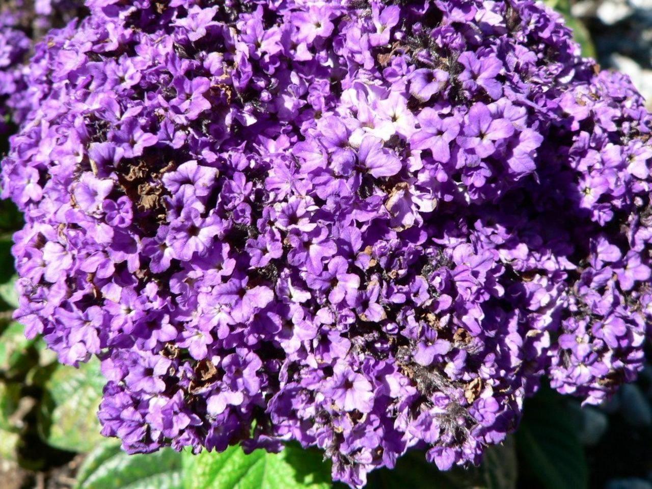 File Purple flowers bush