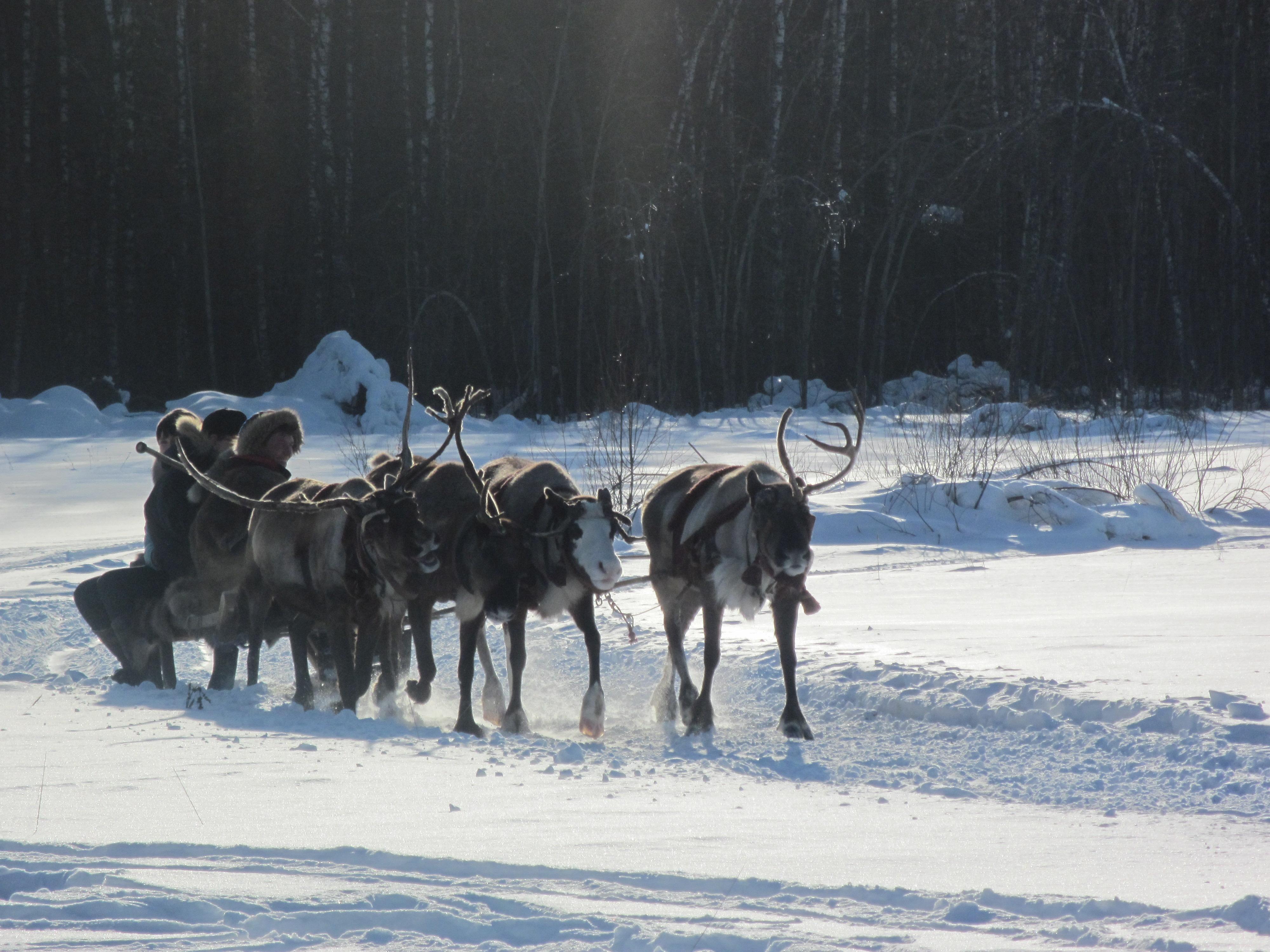 file reindeer pulling sleigh russia jpg wikimedia commons