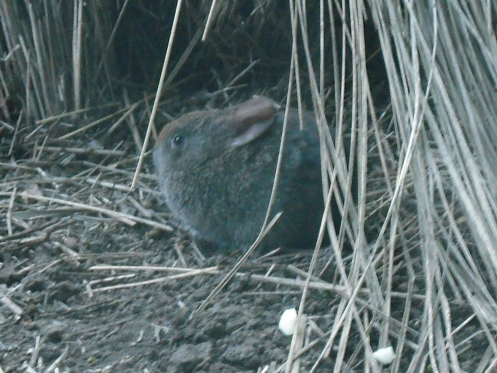 Volcano rabbit - Wikipedia