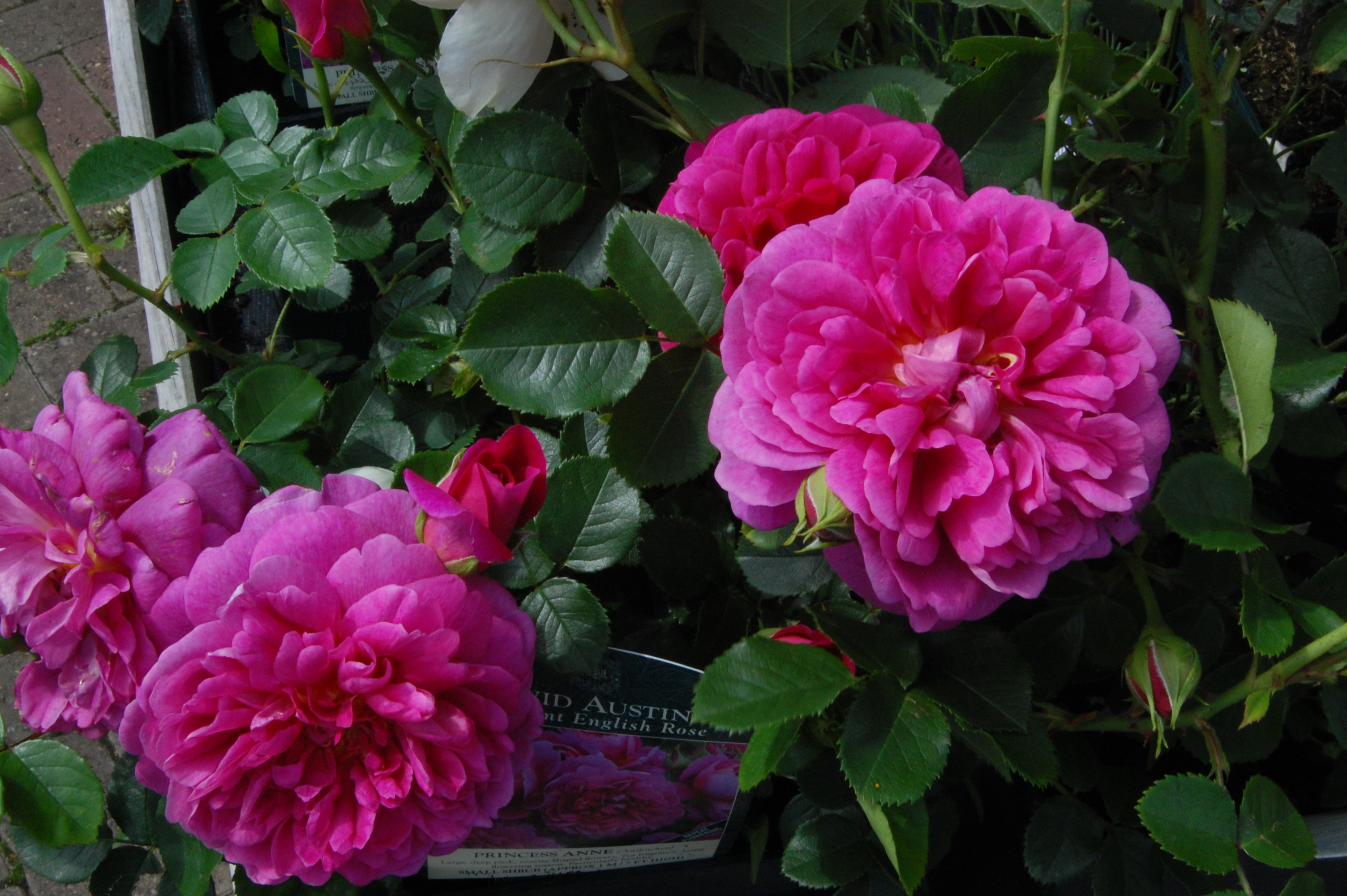 Princess rose princess rose for Rosier princesse d orient