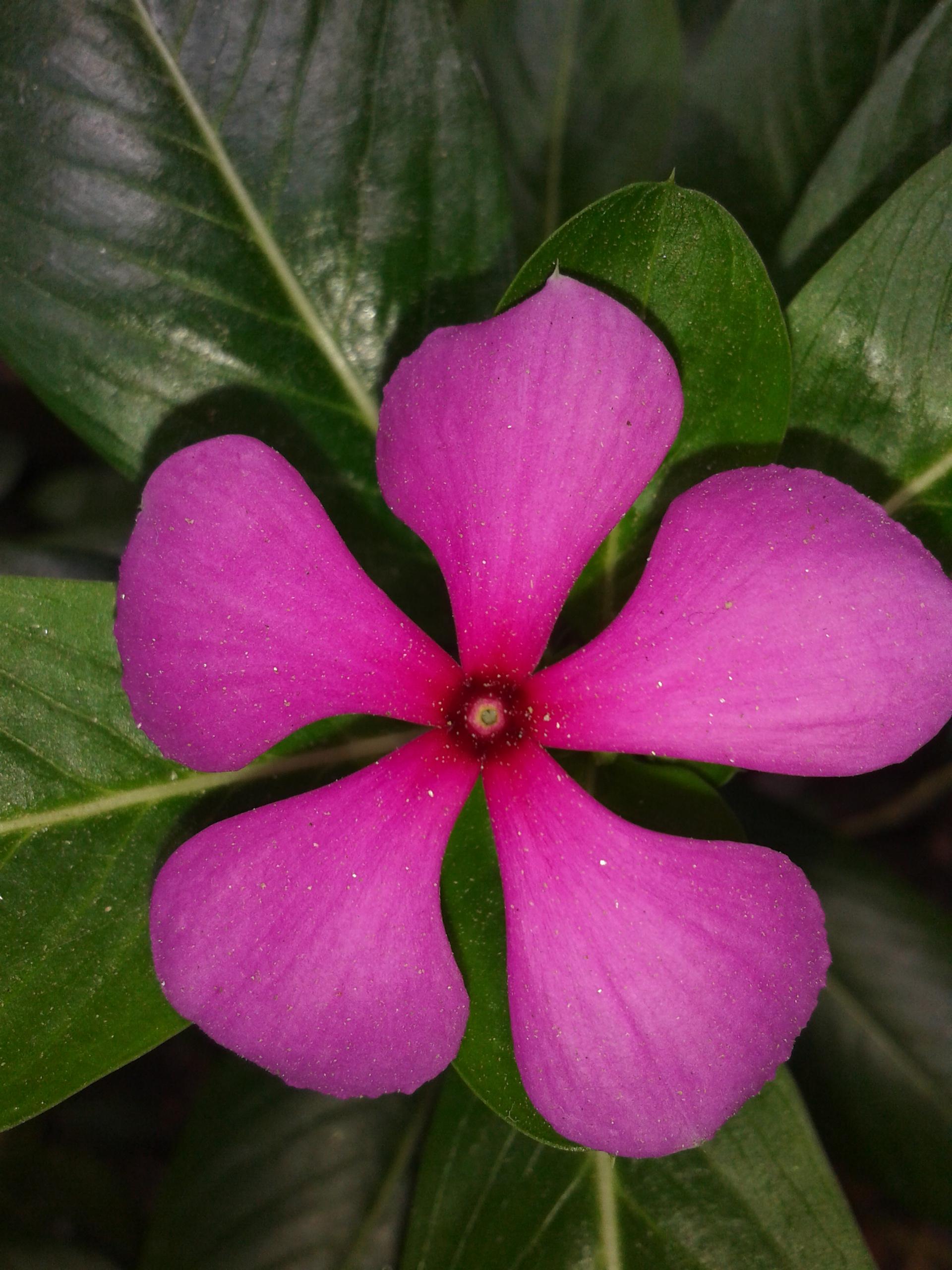 Filerosy periwinkle flowerg wikimedia commons filerosy periwinkle flowerg mightylinksfo