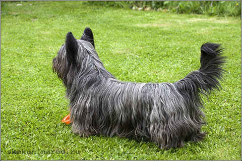 Файл:Skye terrier stailij William Willi.jpg