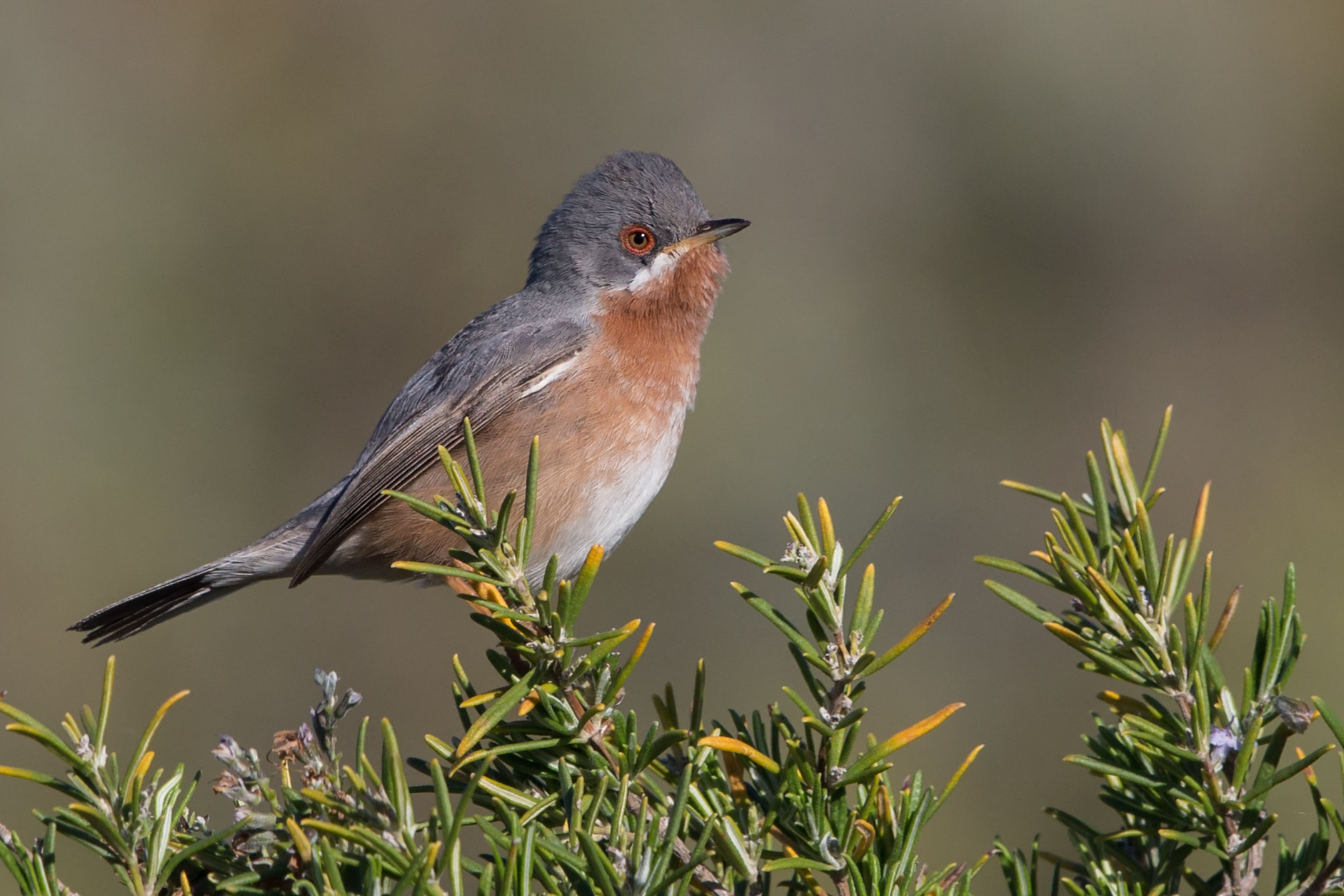 Subalpine warbler in Spain