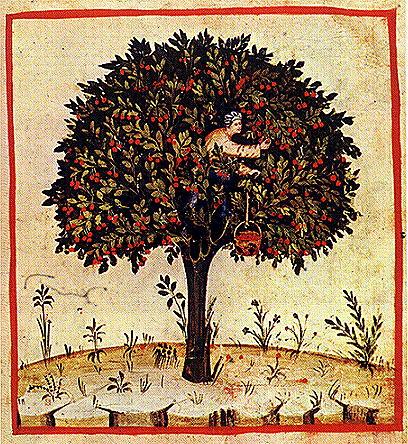 Kirschernte, Tacuinum Sanitatis, 14. Jahrhundert. Rom, Biblioteca Casanatense 4182, fol. 7.