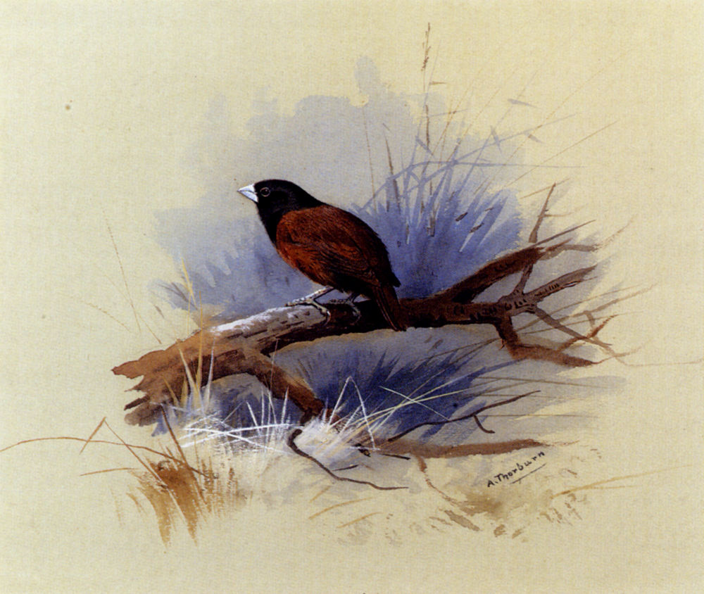 Thorburn Archibald A Nepalese Black Headed Nun In The Branch Of A Tree.jpg