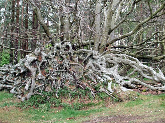 Uprooted Beech Tree - geograph.org.uk - 1279561