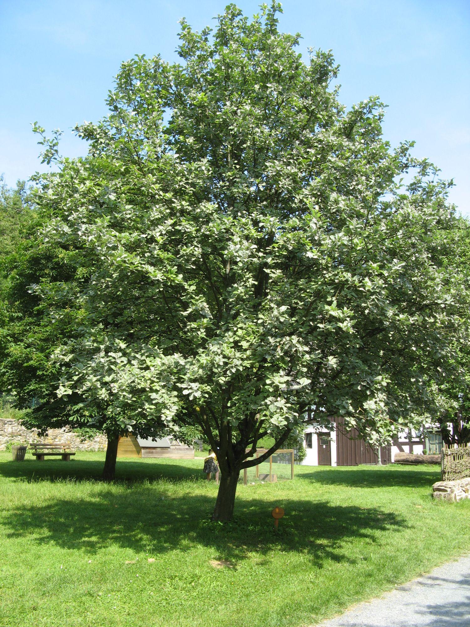 Depiction of Sorbus aria