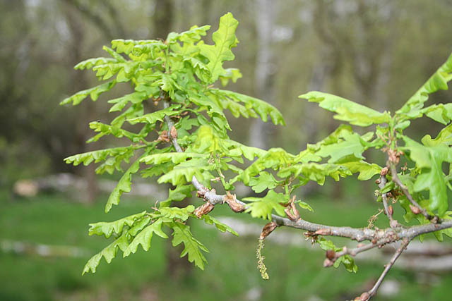Young English oak leaves in Sherwood Forest Country Park - geograph.org.uk - 1334893