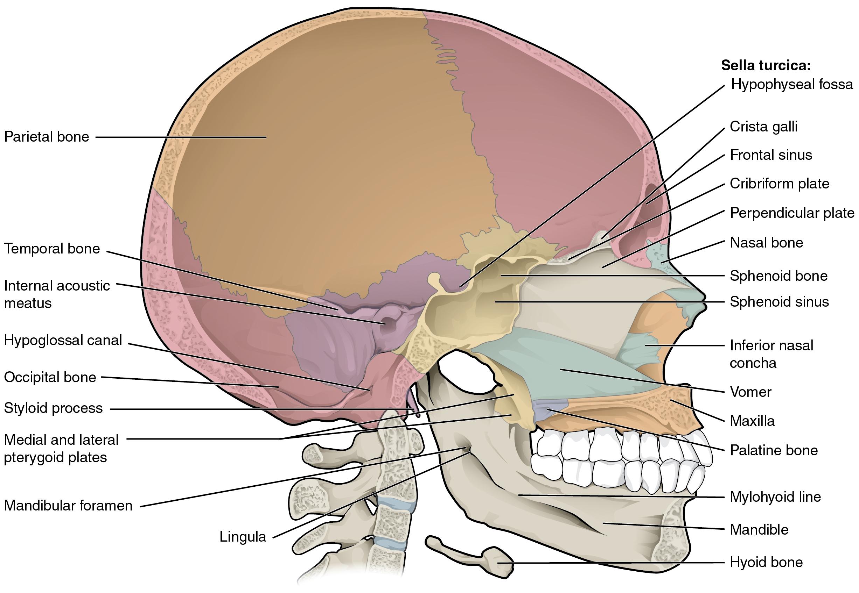 File706 sagittal section of skull 01g wikimedia commons file706 sagittal section of skull 01g pooptronica