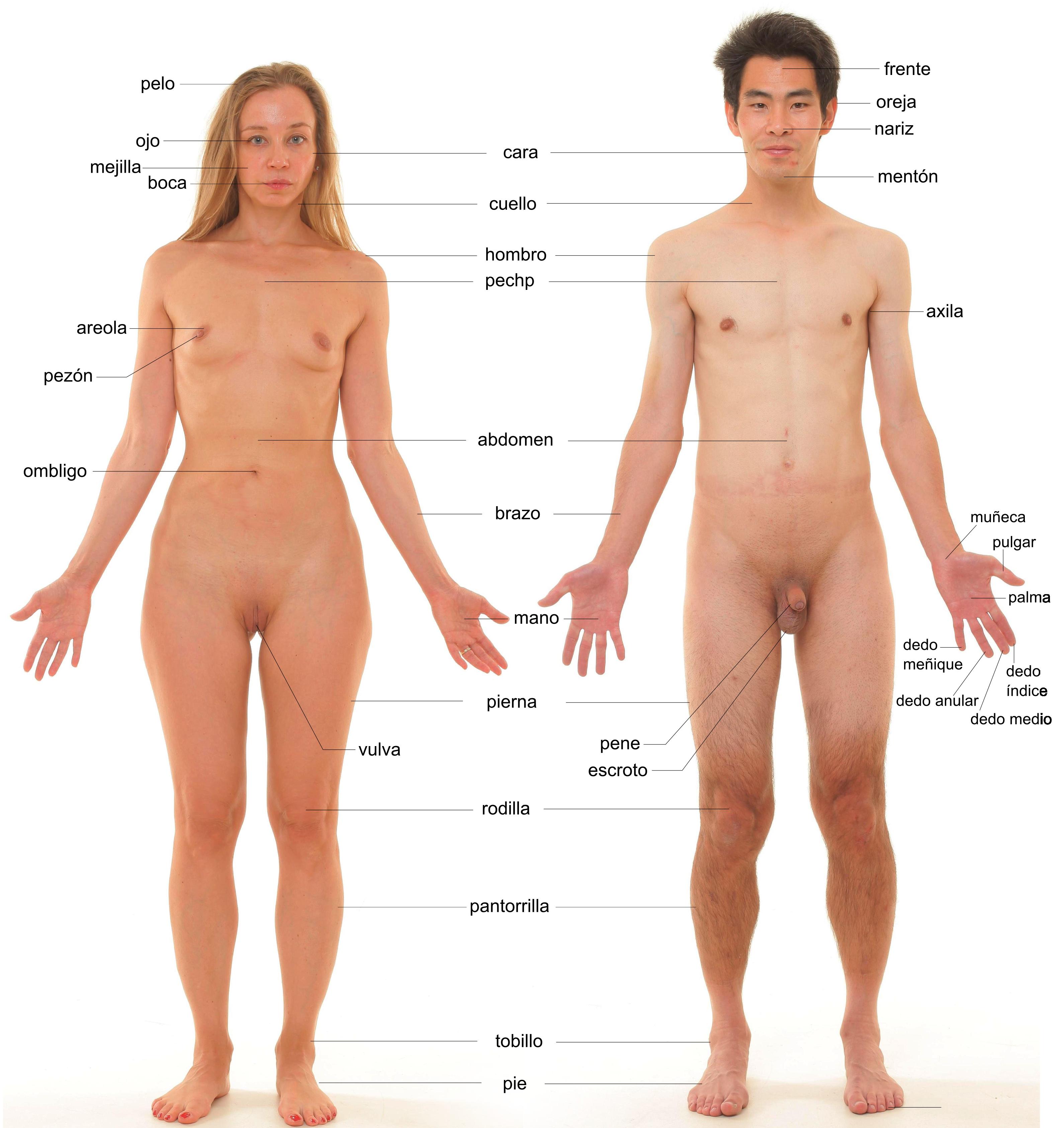 Anexo:Partes del cuerpo humano - Wikiwand