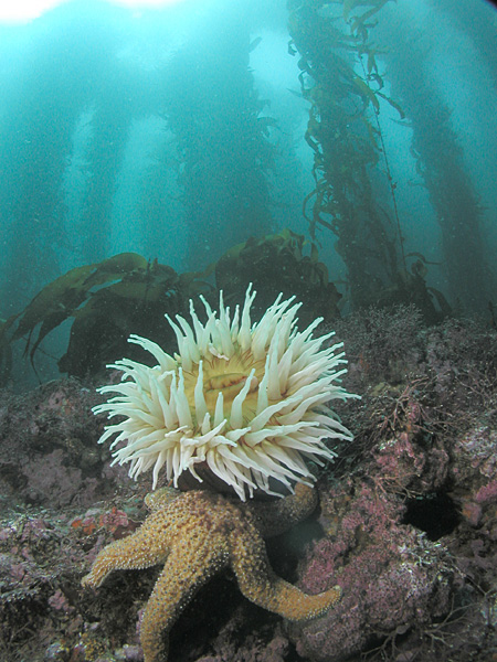 Anemone and seastar in kelp forest.jpg