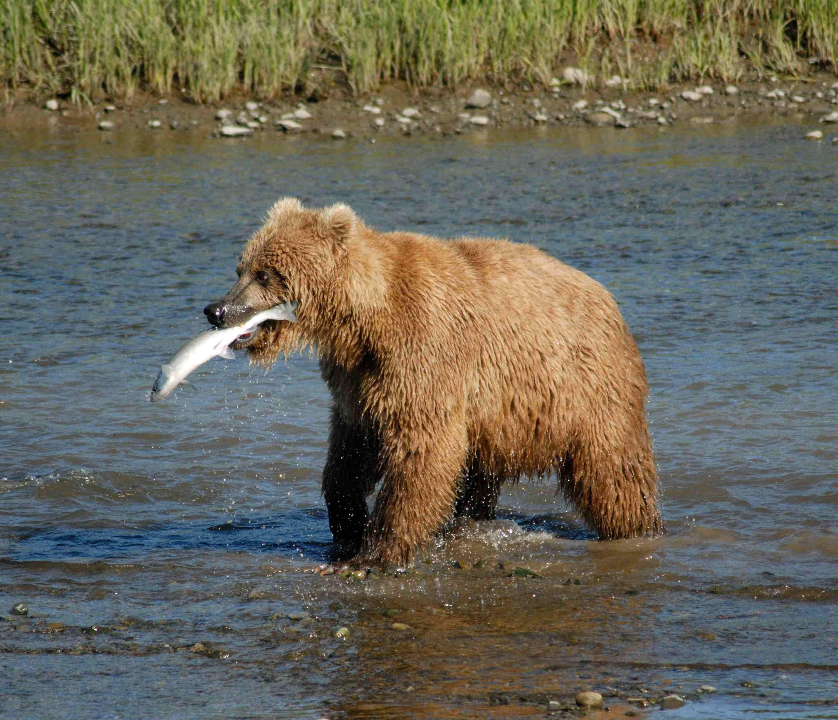 Brown Bear Feeding On Infrequent But Predictable Salmon Migrations In Alaska