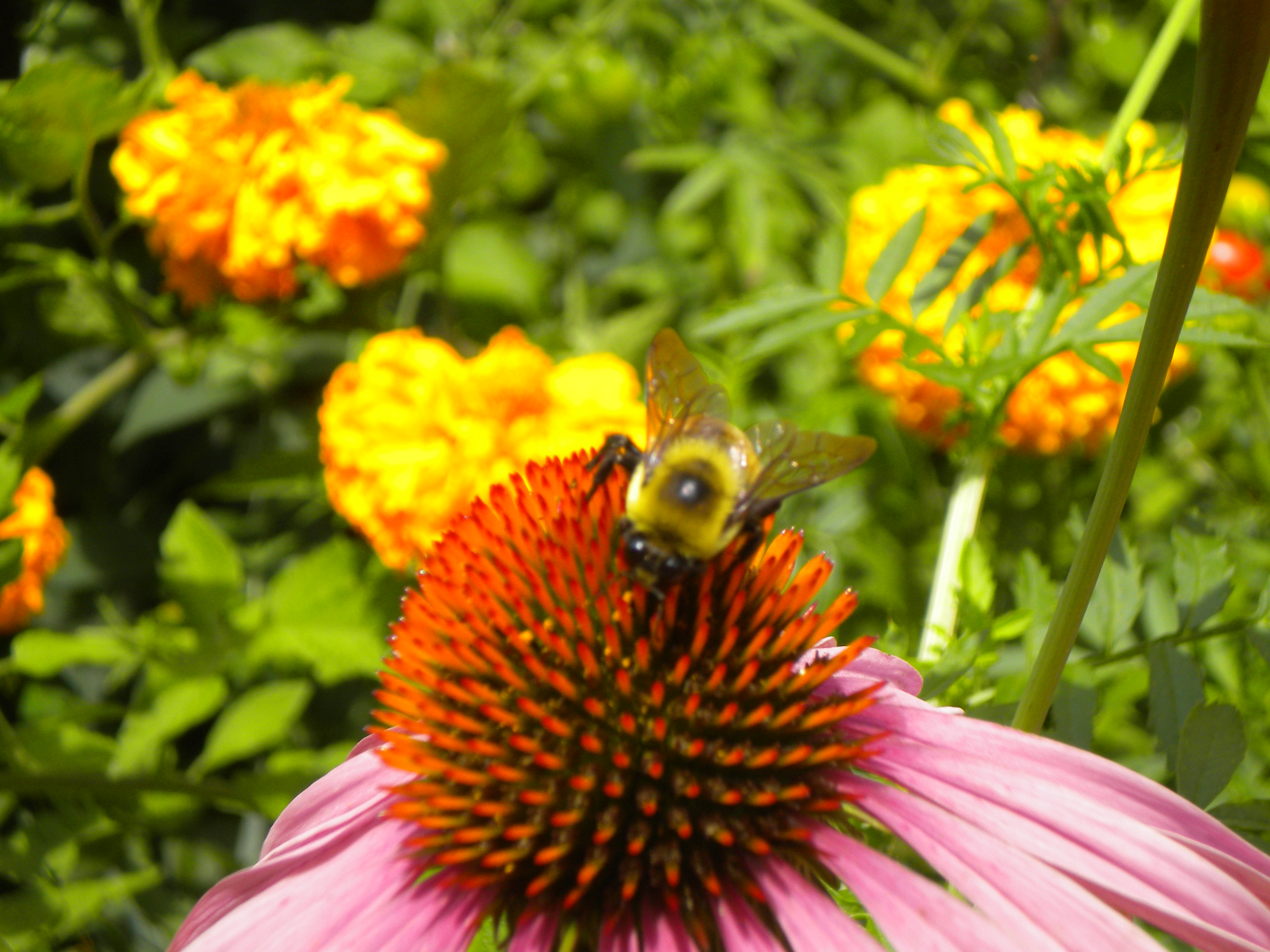 Delaware State Flower File:Bee on flower del...