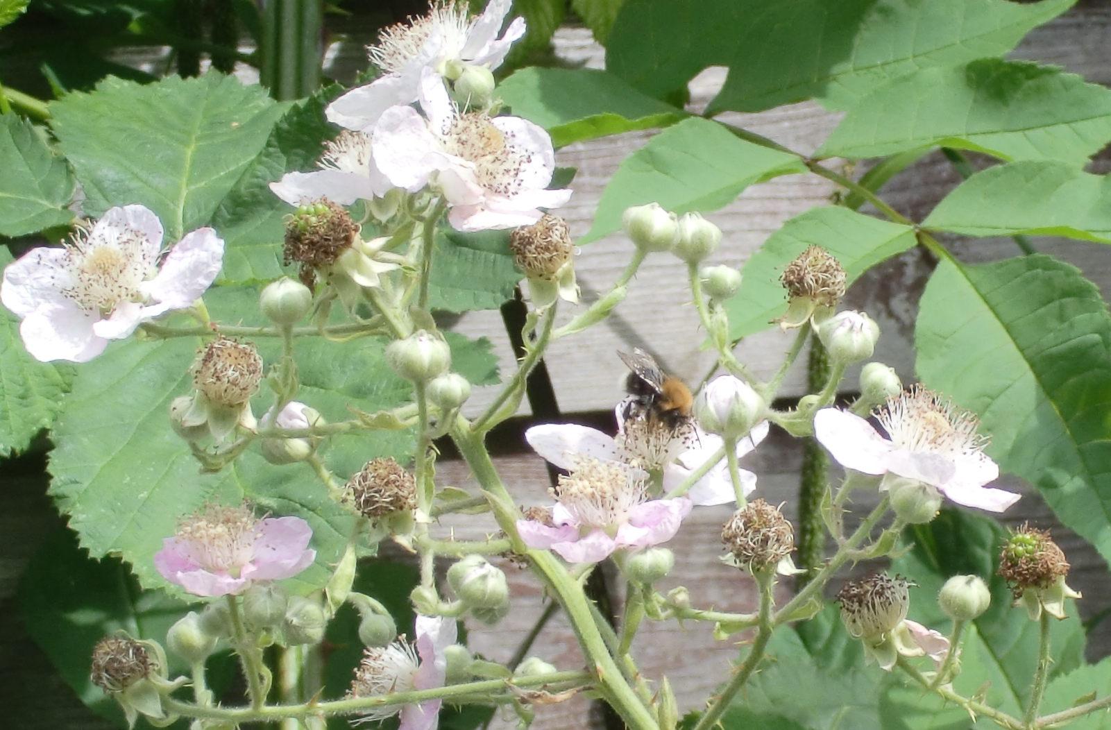 bee,ombushypnorum,pollinatingblackberries