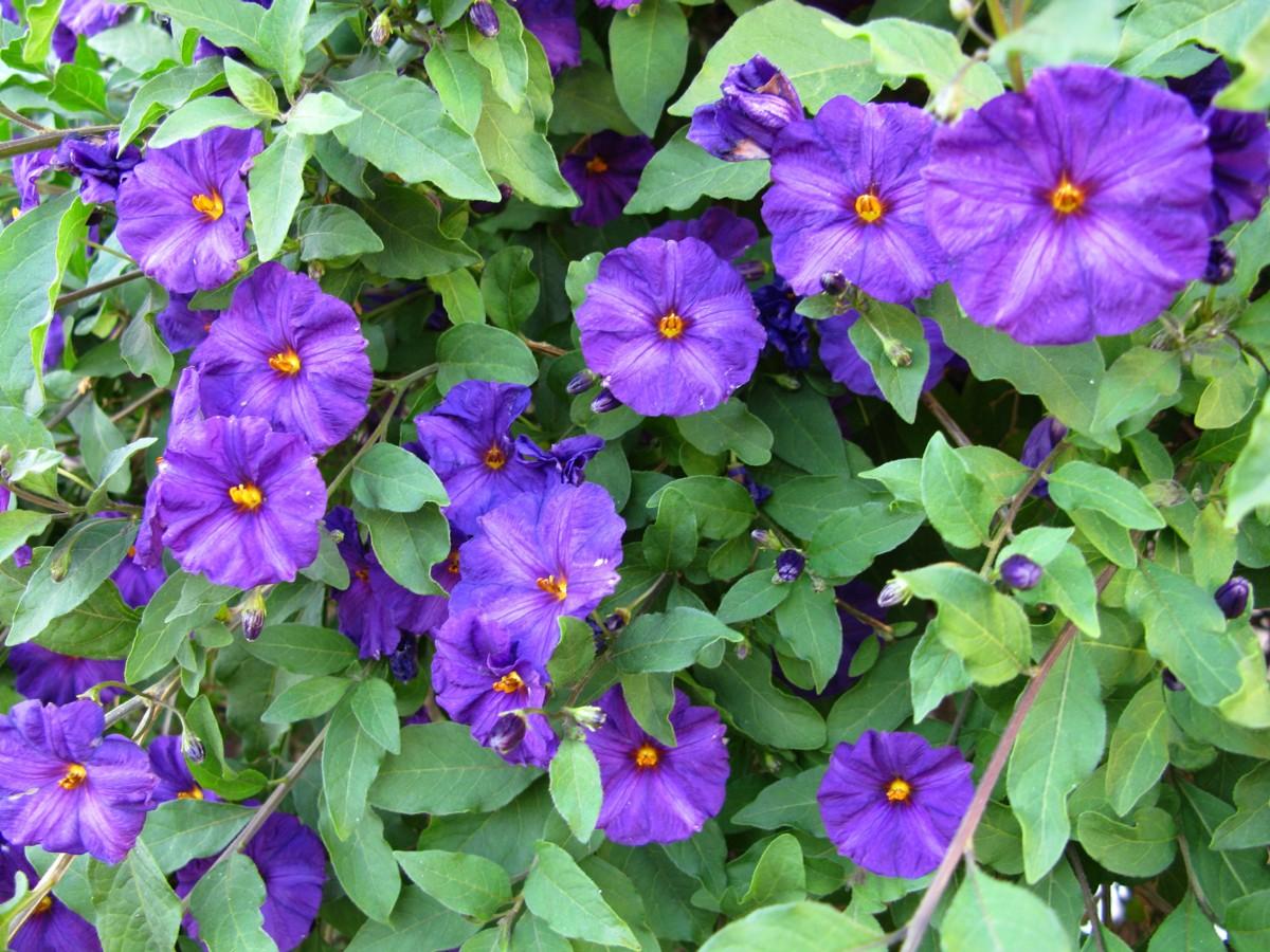 File Blue Flowers Vine ForestWander Wikimedia mons