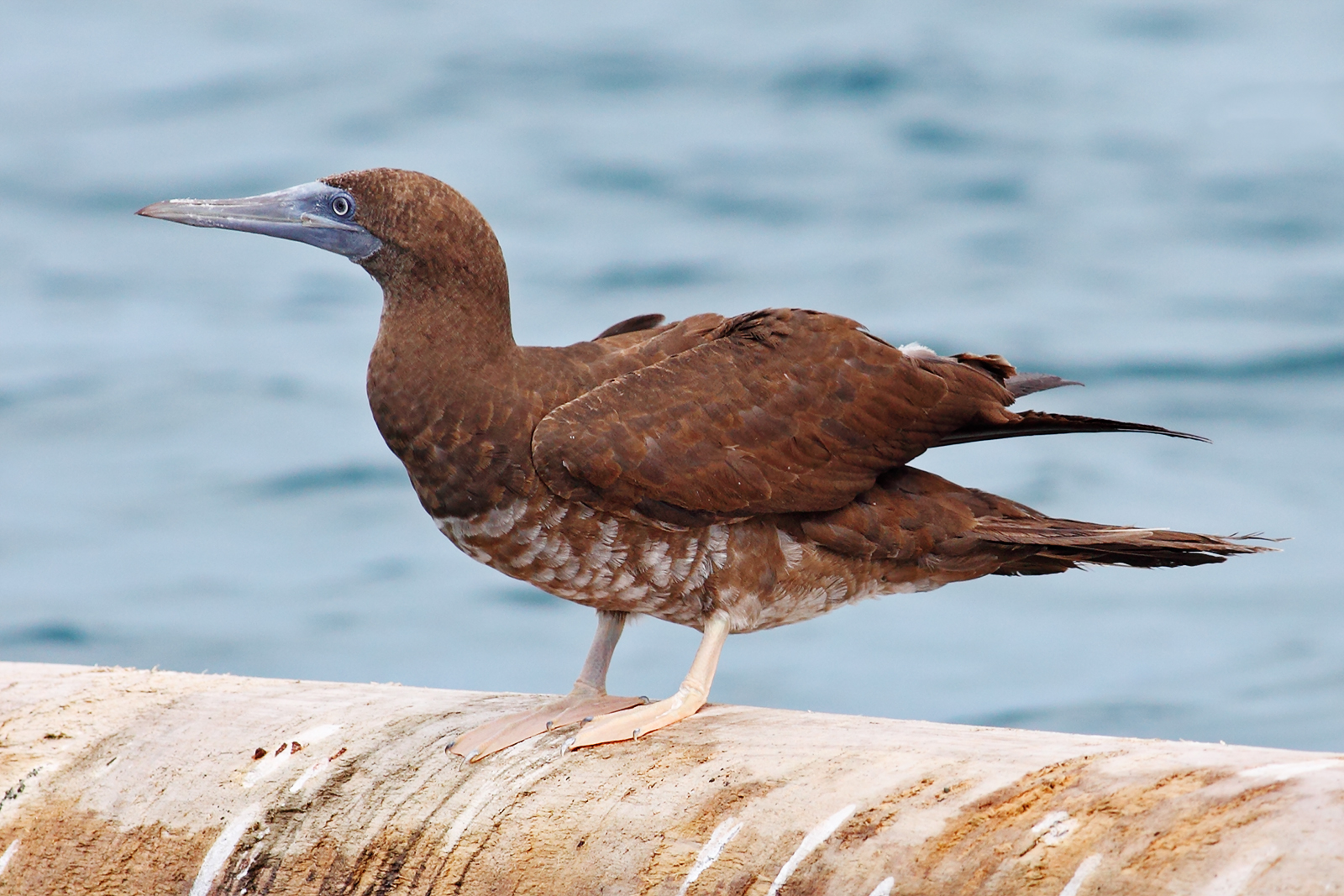 Brown booby immature - photo#7