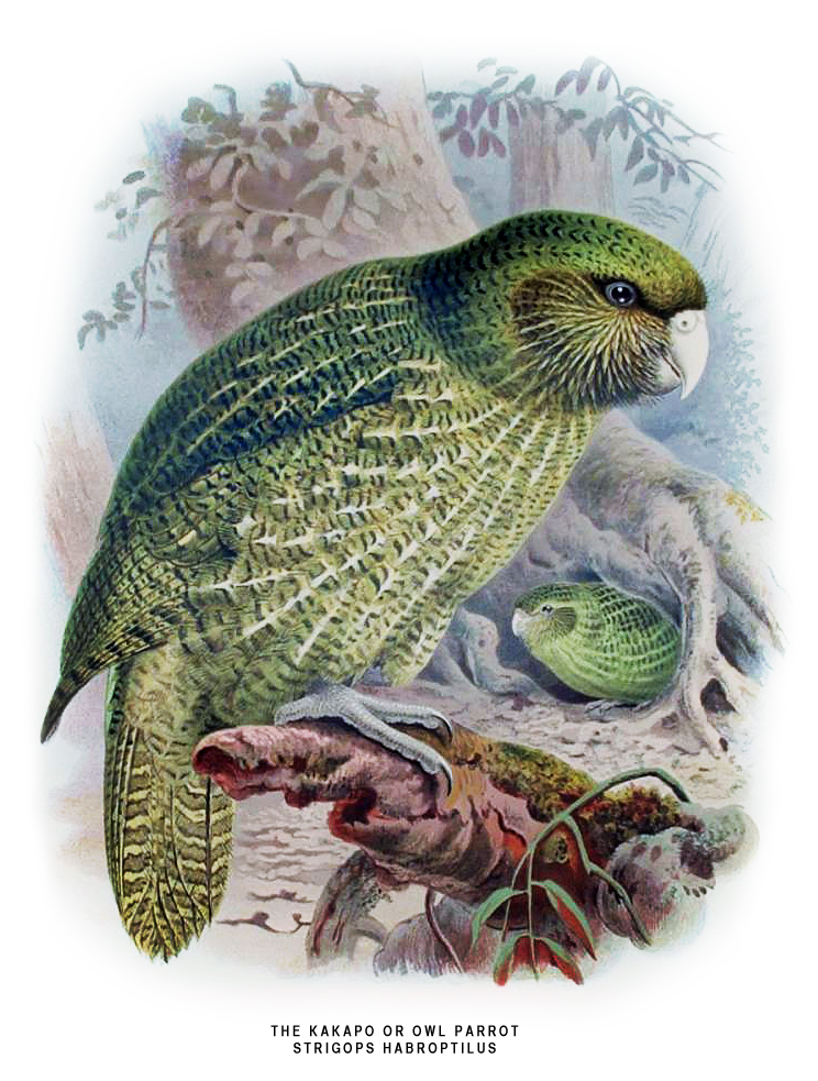 ancient wallpaper: kakapo parrot