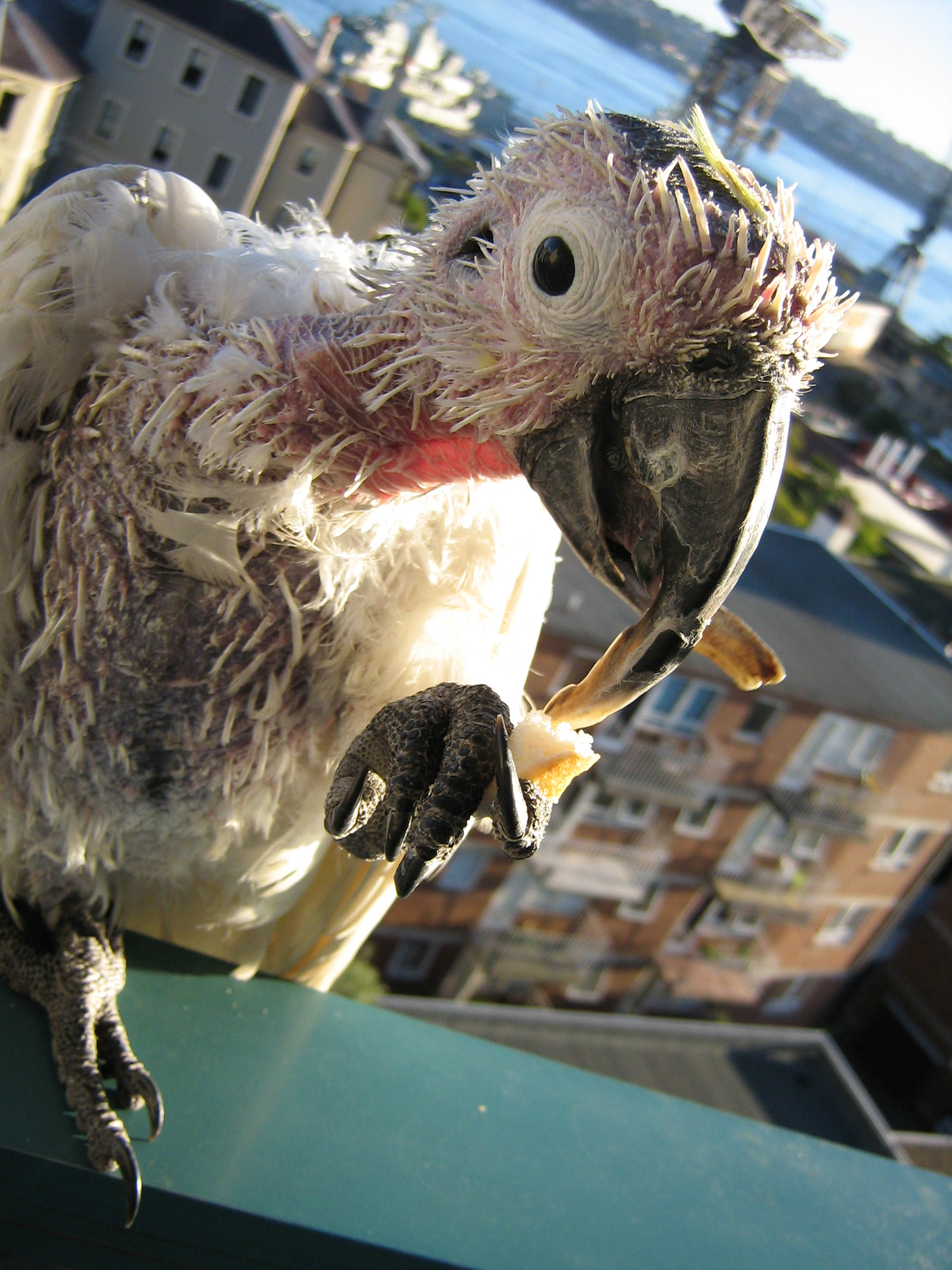 Kakadu žlutočečelatý trpící celkovou ztrátou opeření při cirkoviróze papoušků