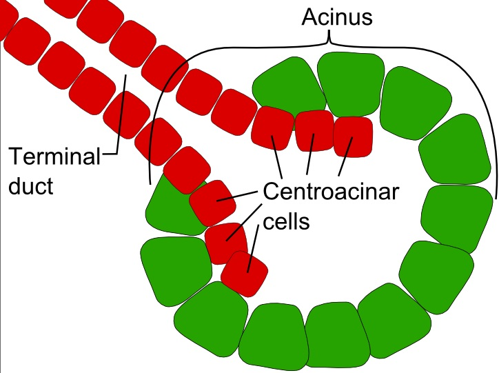 Exocrine gland - Wikipedia