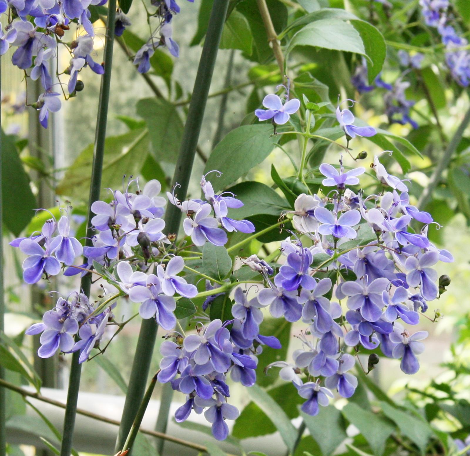Цветы купить, клеродендрум угандийский букет купить