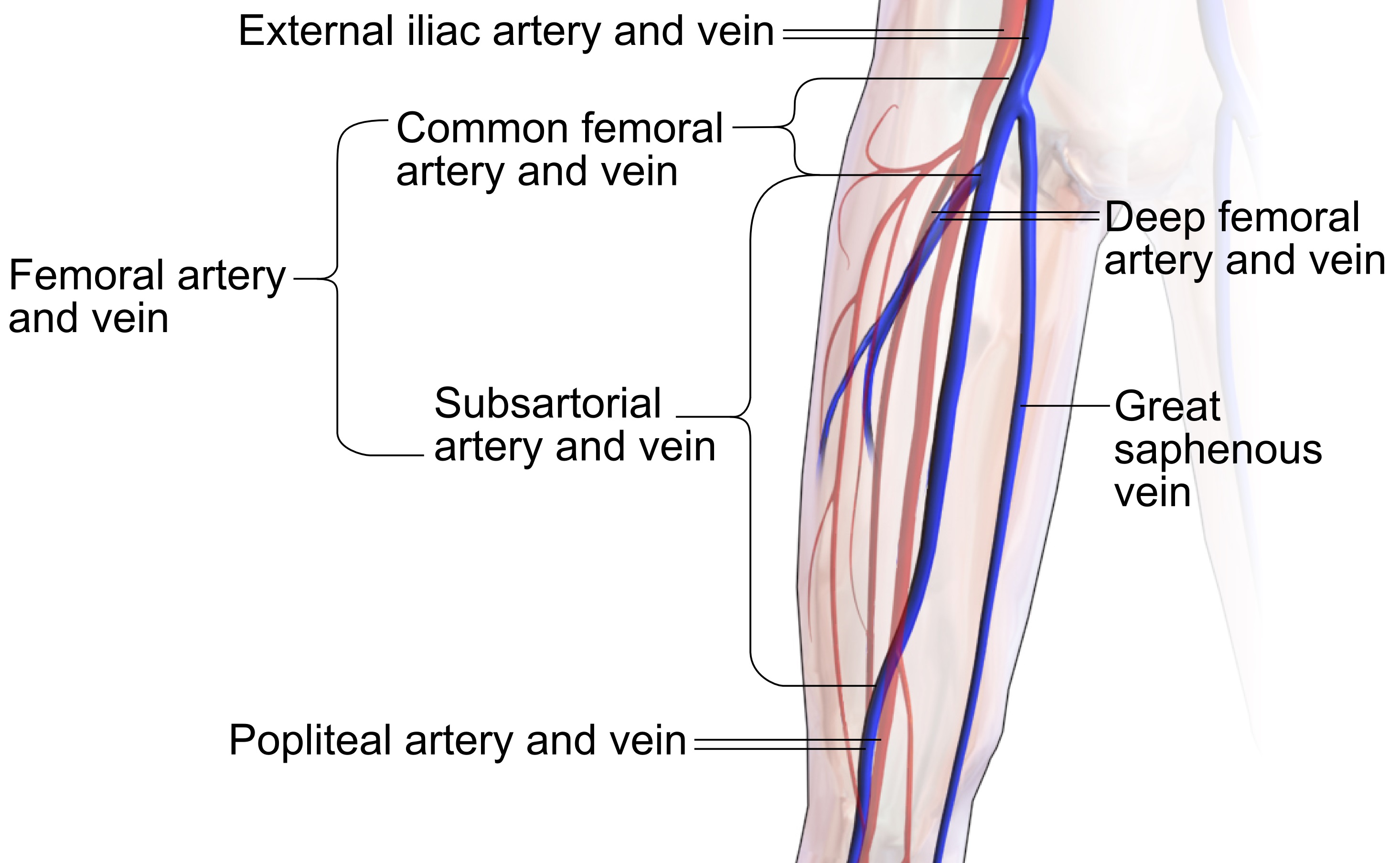 Filecommon Femoral And Subsartorial Artery And Veing Wikimedia