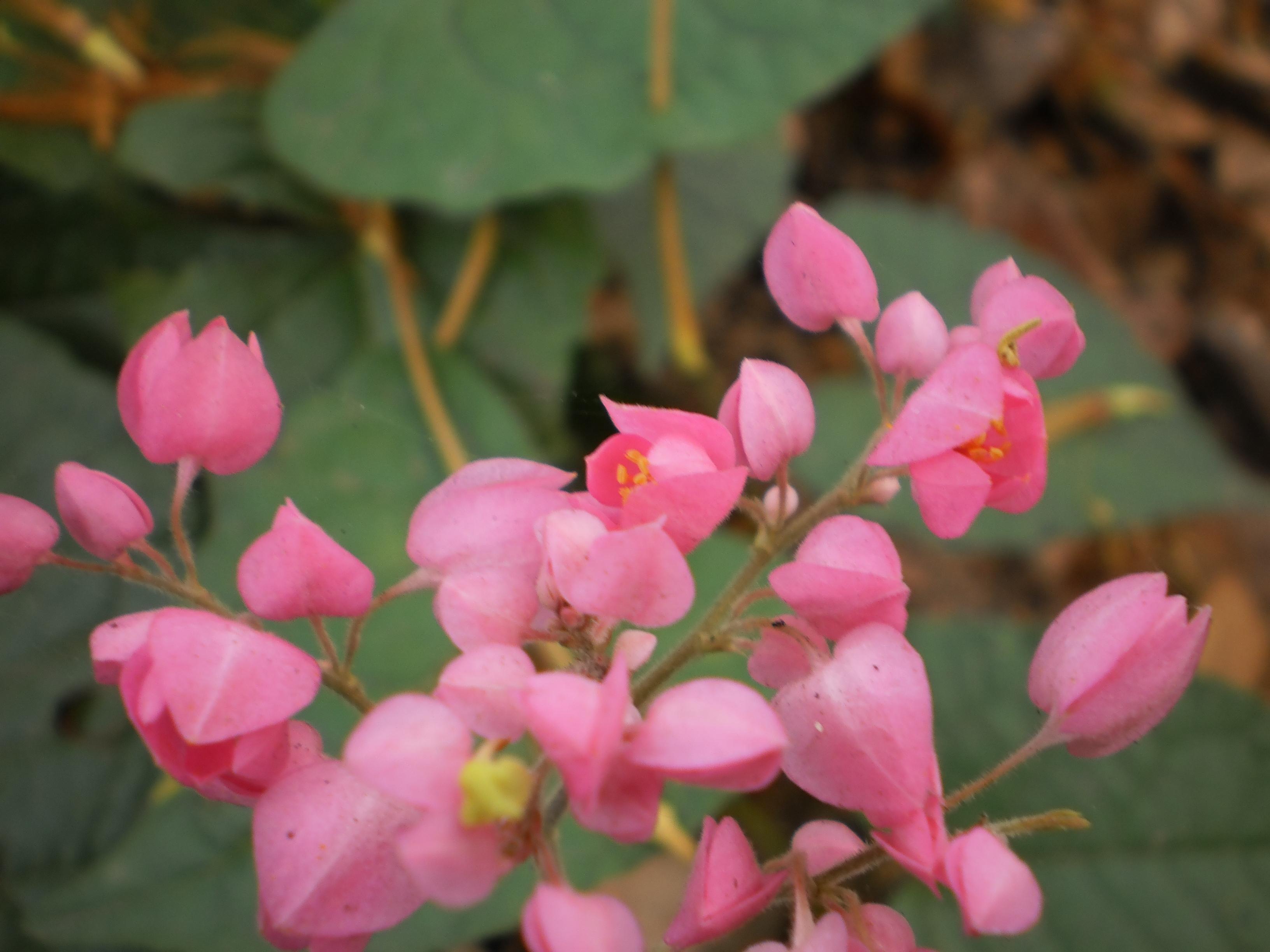 File Coral Vine Antigonon leptopus flower at Thiruvanathapuram 1 JPG Wikime
