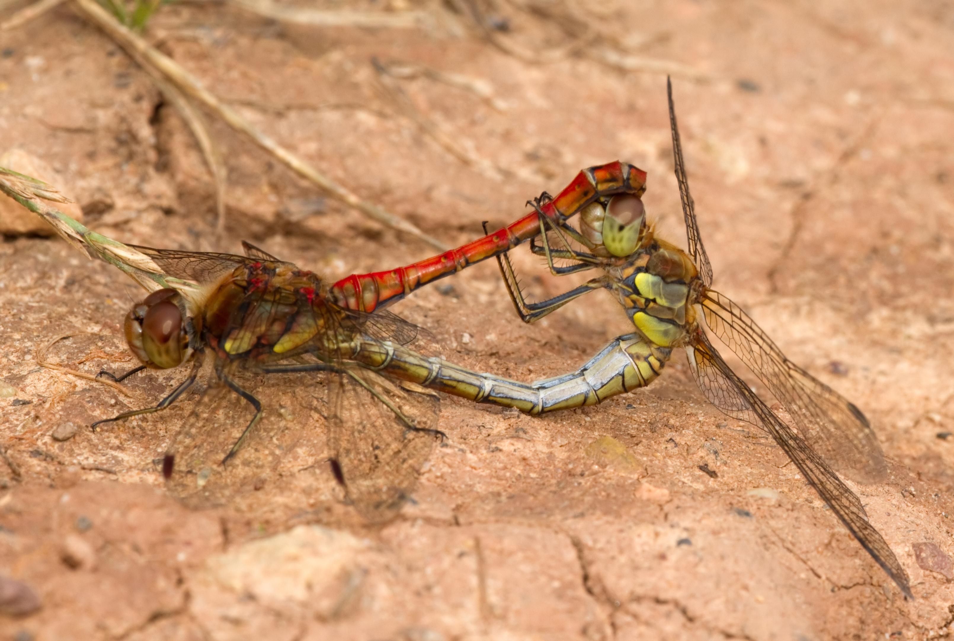 File:Darters Mating 2 (6129784595).jpg - Wikimedia Commons