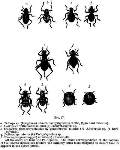 Fig. 27. a. Doliops sp. (Longicorn) mimics Pachyrhynchus orbifae, (b) (a hard curculio). c. Doliops curculionoides mimics (d) Pachyrhynchus sp. e. Scepastus pachyrhynchoides (a grasshopper), mimics (f) Apocyrtus sp. (a hard curculio). g. Doliops sp. mimics (h) Pachyrhynchus sp. i. Phoraspis (grasshopper) mimics (k) a Coccinella. All the above are from the Philippines. The exact correspondence of the colours of the insects themselves renders the mimicry much more complete in nature than it appears in the above figures.