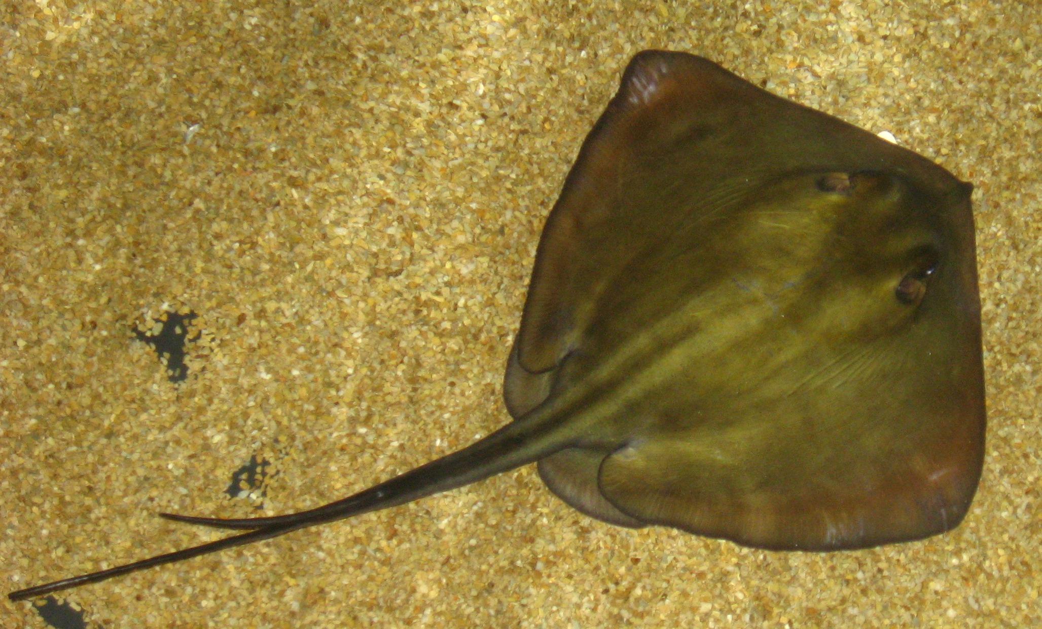 Fish that looks like a stingray 11
