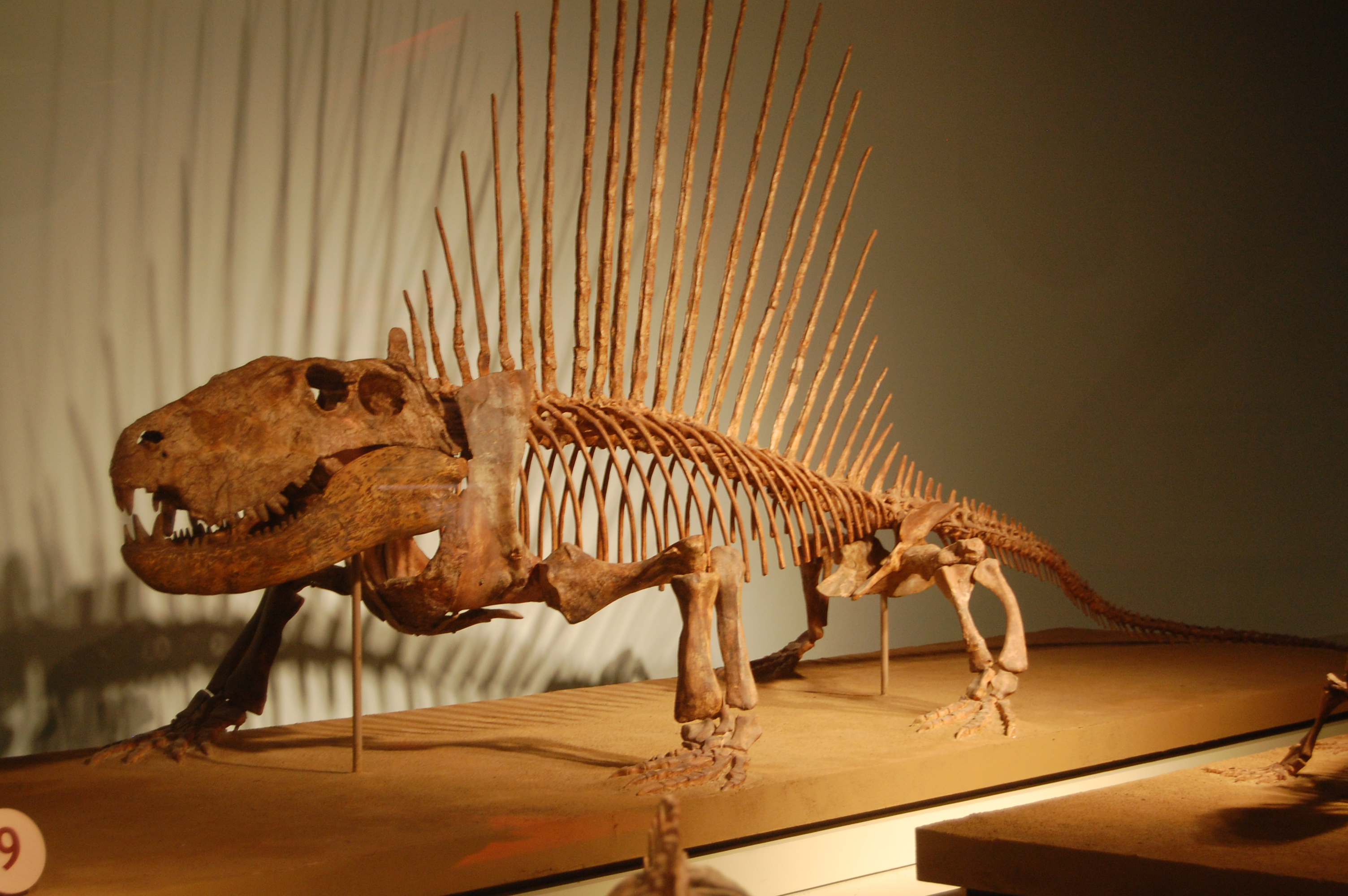 http://upload.wikimedia.org/wikipedia/commons/4/46/Dimetrodon_Field_Museum.jpg