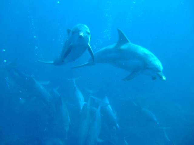swimming with dolphins at Mikura-jima