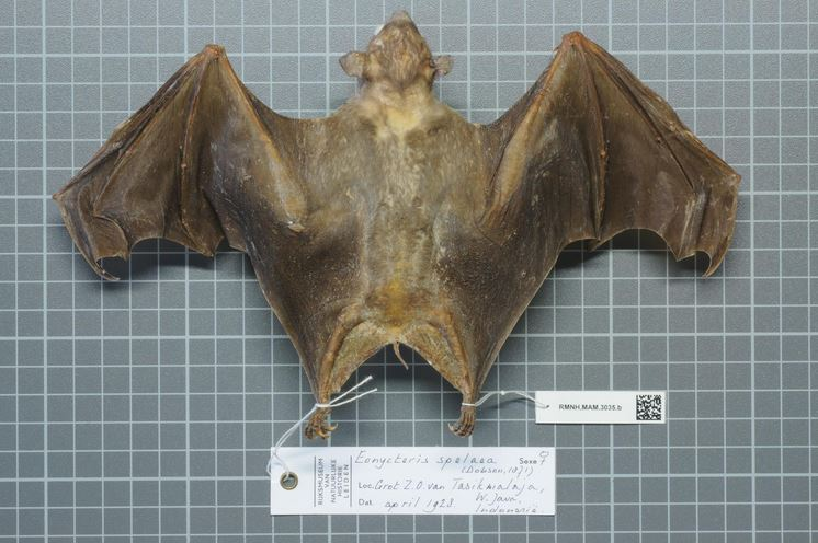 The average litter size of a Cave nectar bat is 1