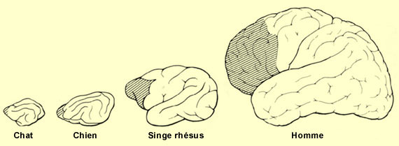 Evolution du cortex prefrontal