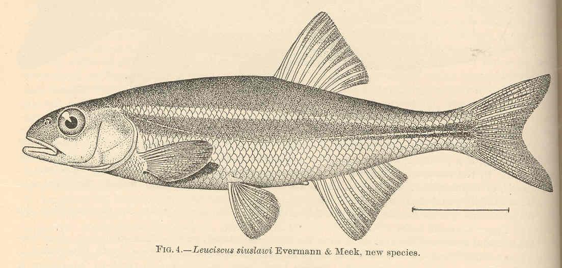 Redside shiner - Wikipedia