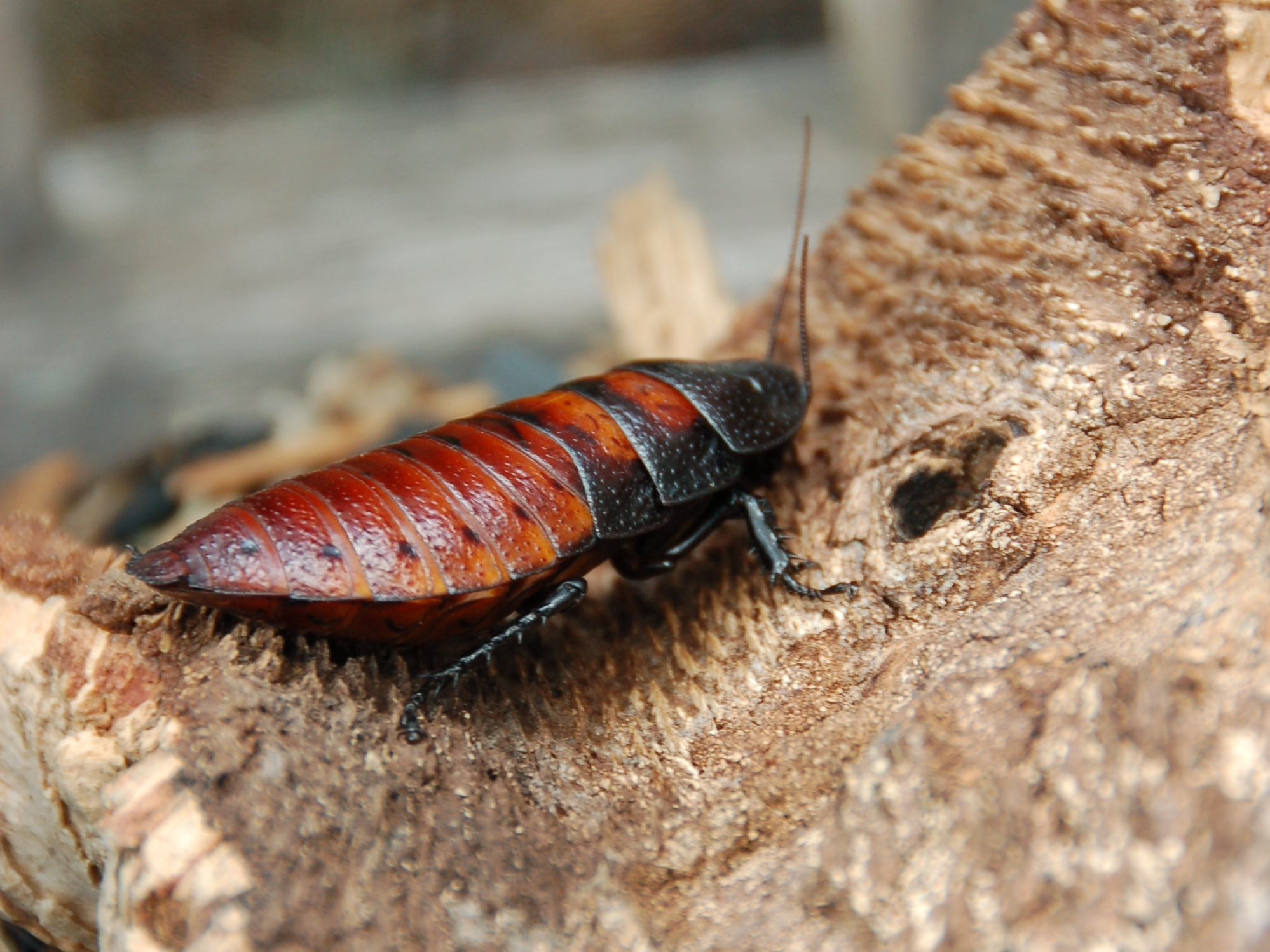 File:Female Madagascar hissing cockroach.JPG - Wikipedia, the free ...
