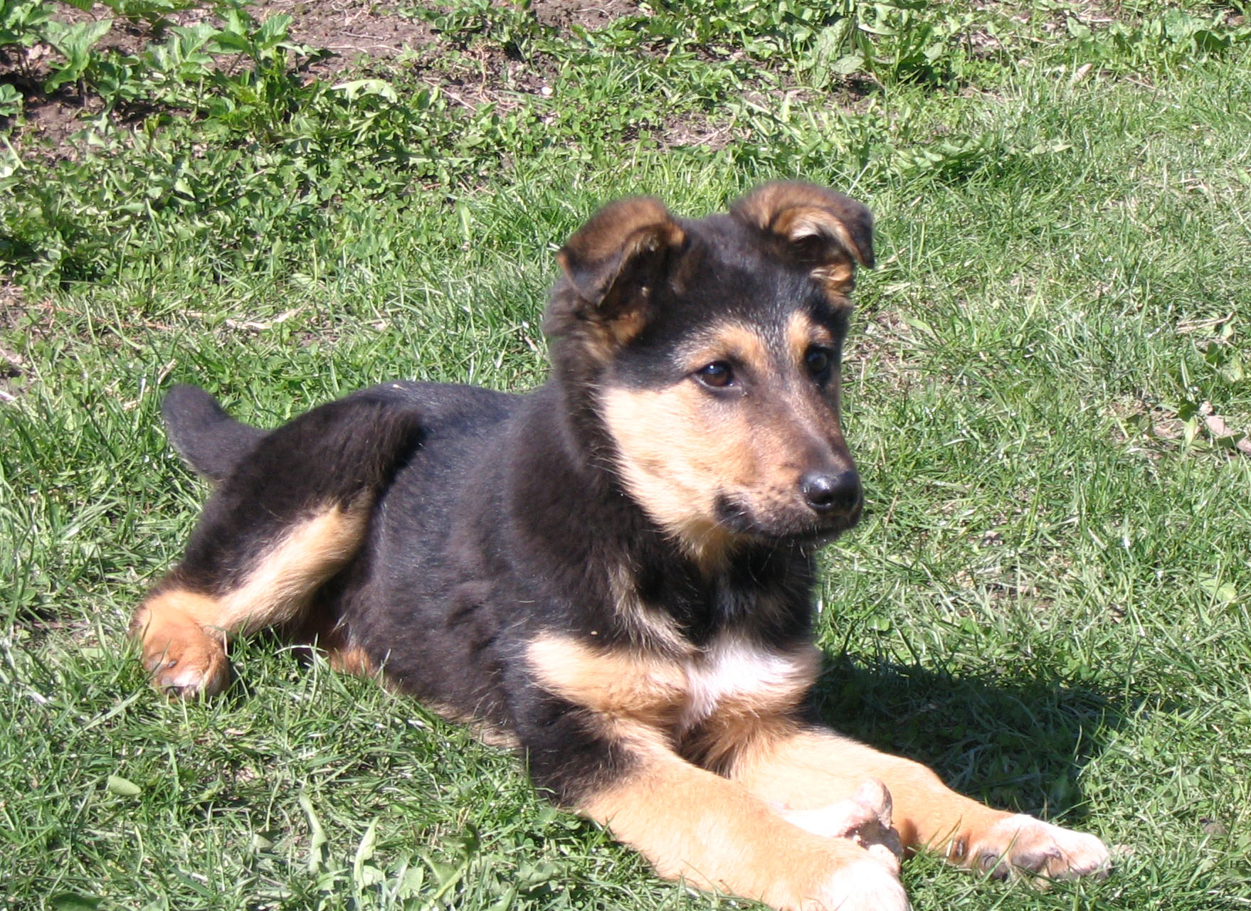 File:German shepherd puppy.jpg - Wikimedia Commons