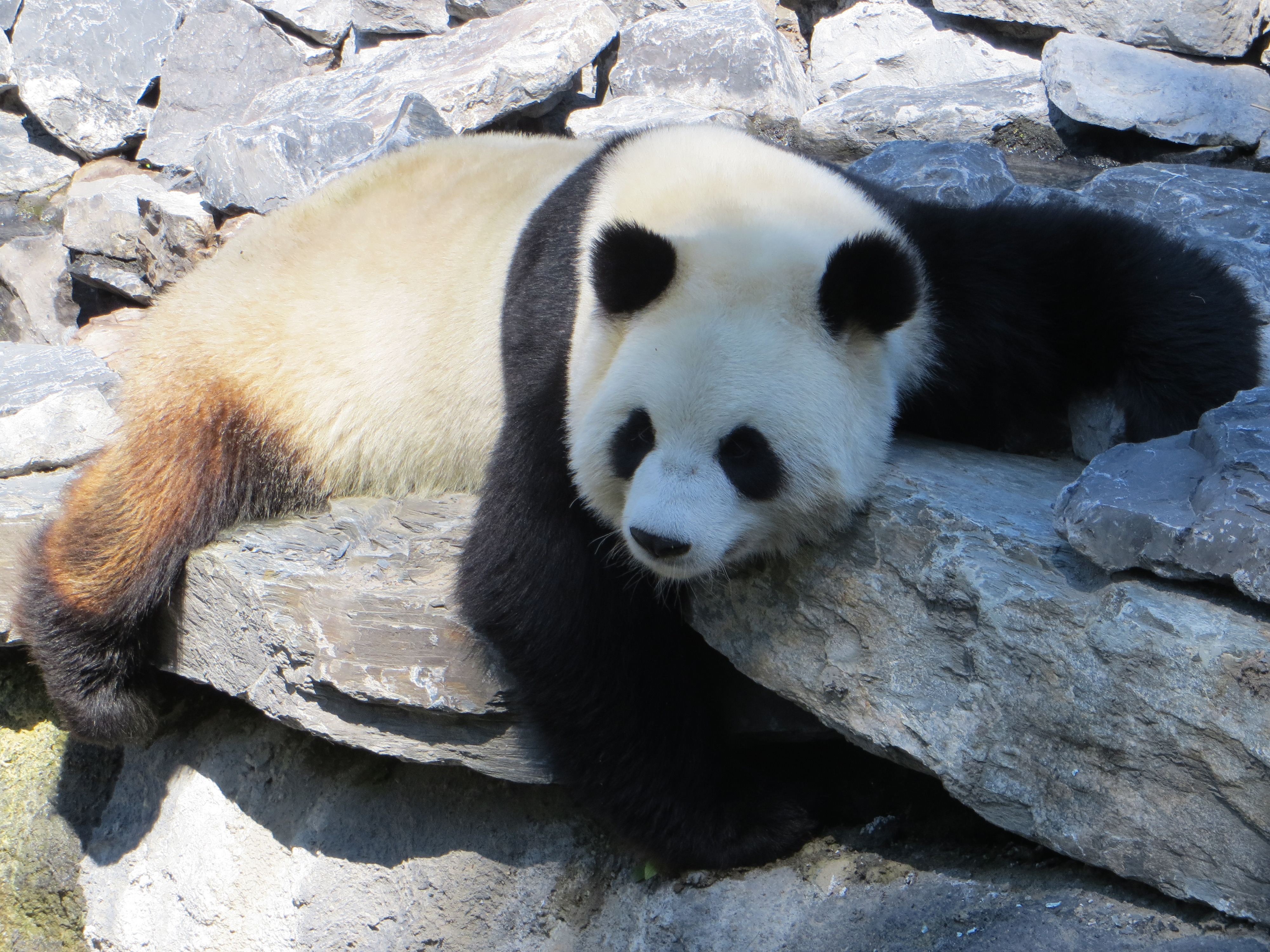 Pairi Daiza, de Panda.