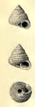 Gibbula joubini 001.jpg