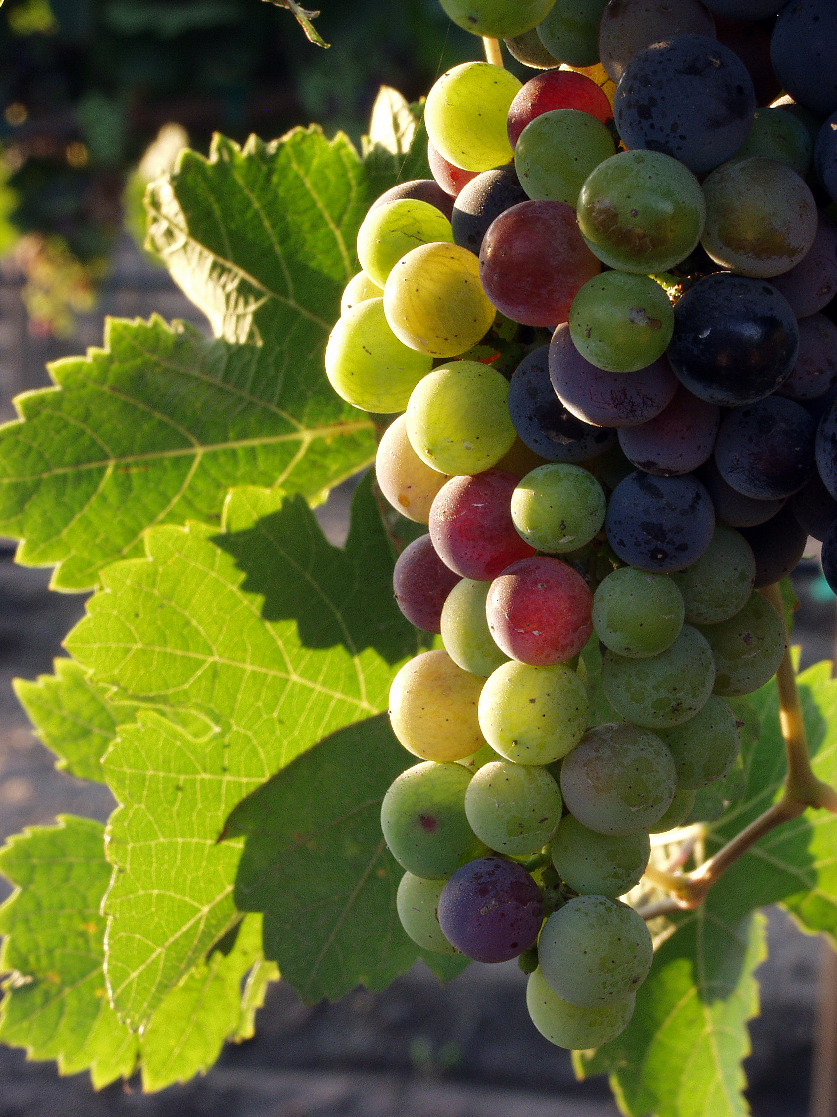 Grapes during pigmentation.jpg