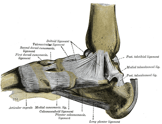 Deltoid ligament - Wikipedia