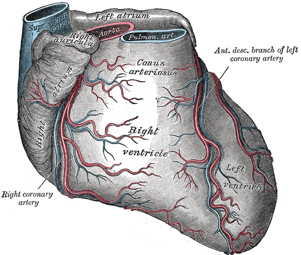 Right Coronary Artery Wikipedia