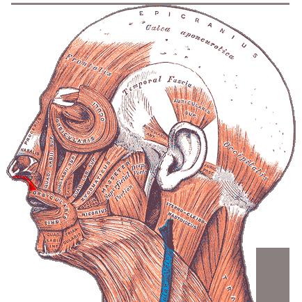 Gray — musculus levator labii superioris aleque nasi